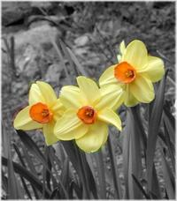 Daffodils_bw