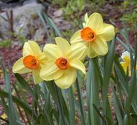 Daffodils_orginal_2
