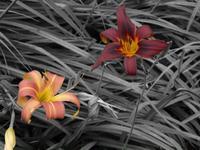 Daylilies_bw